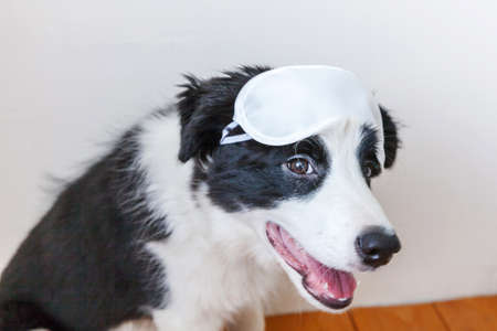 Do not disturb me, let me sleep. Funny cute smiling puppy dog border collie with sleeping eye mask at home indoor background. Rest, good night, siesta, insomnia, relaxation, tired, travel concept