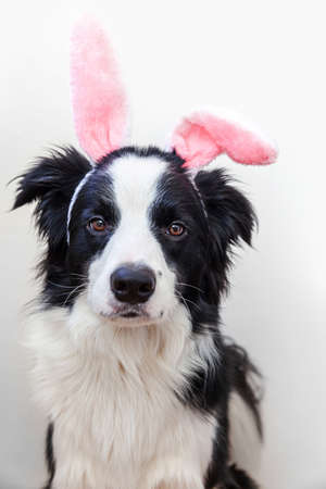 Happy Easter concept. Funny portrait of cute smiling puppy dog border collie wearing easter bunny ears isolated on white background. Preparation for holiday. Spring greeting card