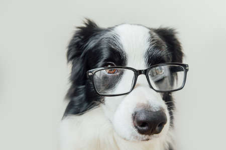 Funny studio portrait of smiling puppy dog border collie in eyeglasses isolated on white background. Little dog gazing in glasses. Back to school. Cool nerd style. Funny pets animals life concept Reklamní fotografie