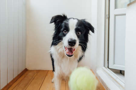 Funny portrait of cute smiling puppy dog border collie holding toy ball in mouth. New lovely member of family little dog at home playing with owner. Pet activity and games at home concept