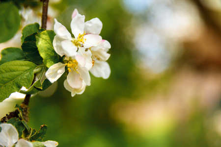 Beautiful white apple blossom flowers in spring time. Background with flowering apple tree. Inspirational natural floral spring blooming garden or park. Flower art design. Selective focus Reklamní fotografie