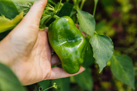 Gardening and agriculture concept. Female farm worker hand harvesting green fresh ripe organic bell pepper in garden. Vegan vegetarian home grown food production. Woman picking paprika pepper