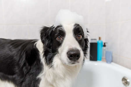 Funny indoor portrait of puppy dog border collie sitting in bath gets bubble bath showering with shampoo. Cute little dog wet in bathtub in grooming salon. Clean dog with funny foam soap on head