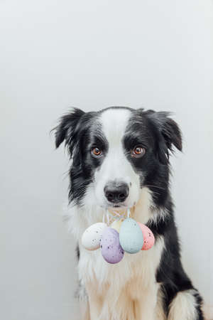 Happy Easter concept. Preparation for holiday. Cute puppy dog border collie holding Easter colorful eggs in mouth isolated on white background. Spring greeting card