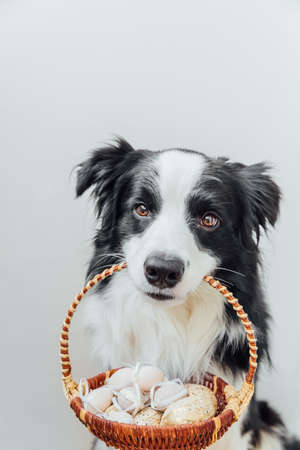 Happy Easter concept. Preparation for holiday. Cute puppy dog border collie holding basket with Easter colorful eggs in mouth isolated on white background. Spring greeting card 스톡 콘텐츠