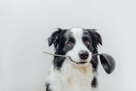 Funny portrait of cute puppy dog border collie holding kitchen spoon ladle in mouth isolated on white background. Chef dog cooking dinner. Homemade food, restaurant menu concept. Cooking process 스톡 콘텐츠