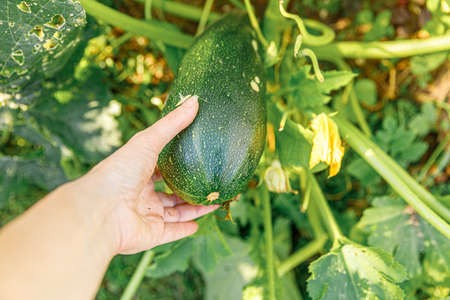 Gardening and agriculture concept. Female farm worker hand harvesting green fresh ripe organic zucchini in garden. Vegan vegetarian home grown food production. Woman picking courgette squash 스톡 콘텐츠