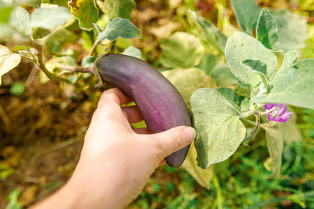 Gardening and agriculture concept. Female farm worker hand harvesting purple fresh ripe organic eggplant in garden. Vegan vegetarian home grown food production. Woman picking aubergine brinjal