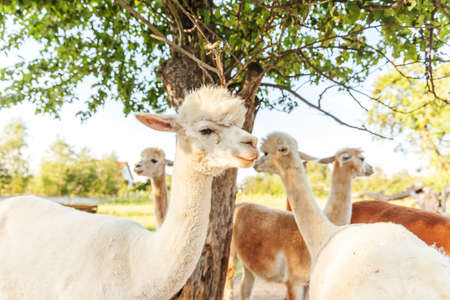 Cute alpaca with funny face relaxing on ranch in summer day. Domestic alpacas grazing on pasture in natural eco farm, countryside background. Animal care and ecological farming concept
