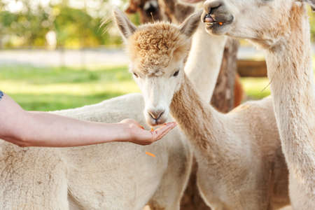 Cute alpaca with funny face eating feed in hand on ranch in summer day. Domestic alpacas grazing on pasture in natural eco farm, countryside background. Animal care and ecological farming concept