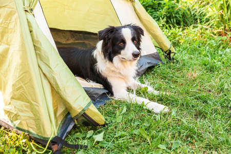 Outdoor portrait of cute funny puppy dog border collie lying down inside in camping tent. Pet travel, adventure with dog companion. Guardian and camping protection. Trip tourism concept 스톡 콘텐츠