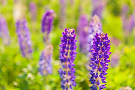 Beautiful blooming lupine flowers in spring time. Field of lupines plants background. Violet wild spring and summer flowers. Gentle warm soft colors, selective focus, blurred background 스톡 콘텐츠