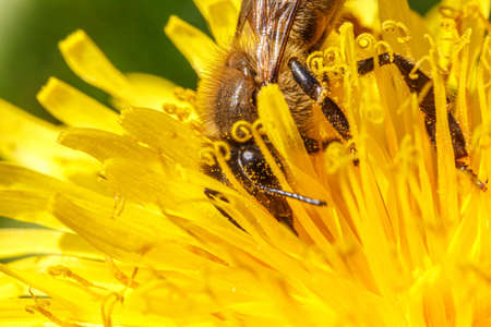 Honey bee covered with yellow pollen drink nectar, pollinating yellow dandelion flower. Inspirational natural floral spring or summer blooming garden background. Life of insects. Macro close up