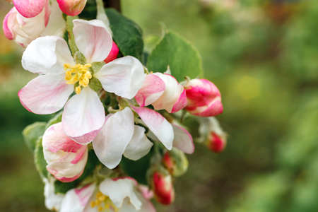Beautiful white apple blossom flowers in spring time. Background with flowering apple tree. Inspirational natural floral spring blooming garden or park. Flower art design. Selective focus 스톡 콘텐츠