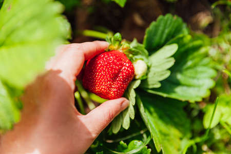 Gardening and agriculture concept. Female farm worker hand harvesting red fresh ripe organic strawberry in garden. Vegan vegetarian home grown food production. Woman picking strawberries in field