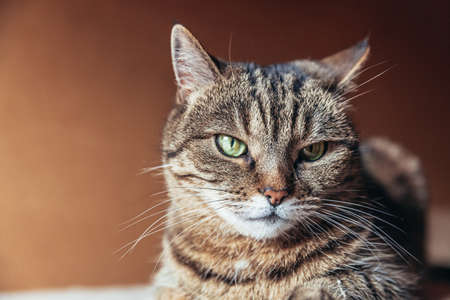 Funny portrait arrogant short-haired domestic tabby cat relaxing at home indoors. Little kitten lovely member of family playing in house. Pet care health and animal concept Stock Photo