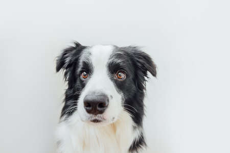 Funny studio portrait of cute smiling puppy dog border collie isolated on white background. New lovely member of family little dog gazing and waiting for reward. Pet care and animals concept 스톡 콘텐츠