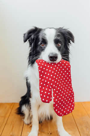 Funny cute puppy dog border collie holding kitchen pot holder, oven mitt in mouth on white background at home indoor. Chef dog cooking dinner. Homemade food, restaurant menu concept. Cooking process