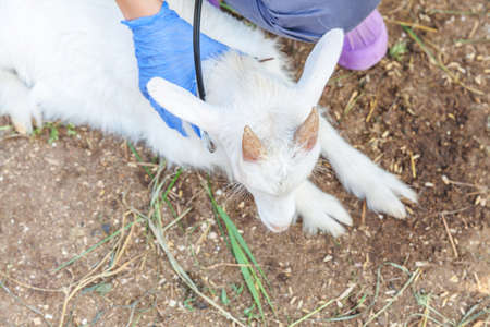 Young veterinarian woman with stethoscope holding and examining goat kid on ranch background. Young goatling with vet hands for check up in natural eco farm. Animal care and ecological farming concept