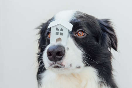 Funny portrait of cute puppy dog border collie holding miniature toy model house on nose isolated on white background. Real estate mortgage property sweet home dog shelter concept 스톡 콘텐츠