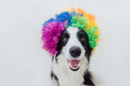 Cute puppy dog with funny face border collie wearing colorful curly clown wig isolated on white background. Funny dog portrait in clown costume in carnival or halloween party. Pet dog in circus