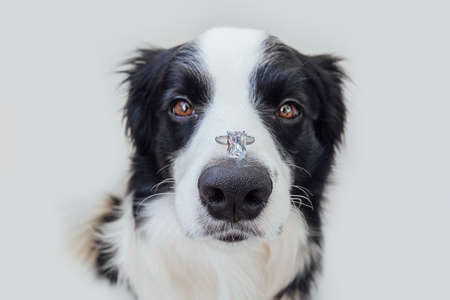 Will you marry me. Funny portrait of cute puppy dog border collie holding wedding ring on nose isolated on white background. Engagement marriage proposal concept