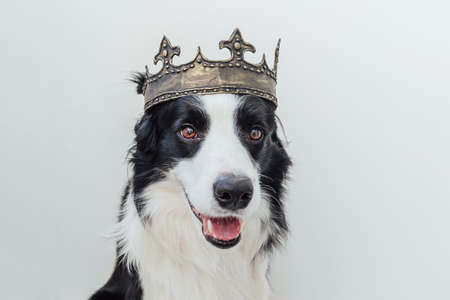 Cute puppy dog with funny face border collie wearing king crown isolated on white background. Funny dog portrait in royal costume in carnival or halloween. Dog lord wizard or prince, dog power theme