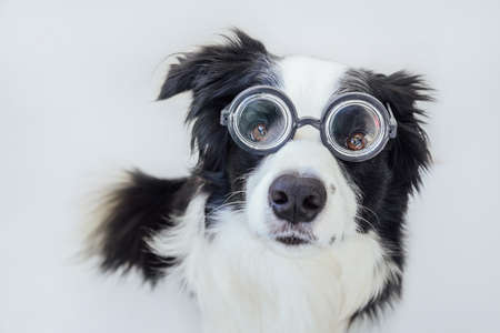 Funny portrait of puppy dog border collie in comical eyeglasses isolated on white background. Little dog gazing in glasses like student professor doctor. Back to school. Cool nerd style. Funny pets