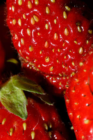 Industrial cultivation of strawberry plant. Ripe red fruits strawberry macro extreme close up. Strawberry fruit background. Natural growing of berries on farm. Eco healthy organic food horticulture concept 스톡 콘텐츠