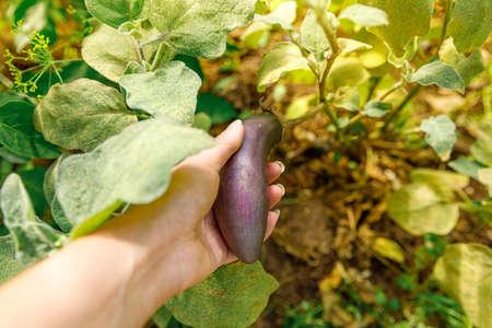Gardening and agriculture concept. Female farm worker hand harvesting purple fresh ripe organic eggplant in garden. Vegan vegetarian home grown food production. Woman picking aubergine brinjal