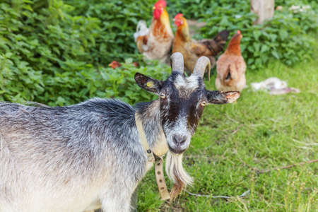 Goat and free range chicken on organic animal farm freely grazing in yard on ranch background. Hen chickens domestic goat graze in pasture. Modern animal livestock, ecological farming. Animal rights