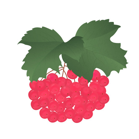 guelder rose: Bunch of ripe red viburnum with leaves