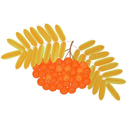 黄ばんだ葉を持つナナカマドの果実を束します。  イラスト・ベクター素材