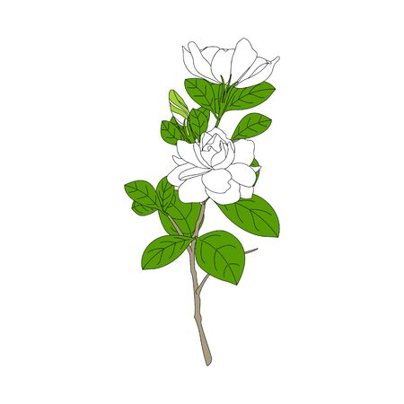 White Gardenia jasminoides or Cape jasmine flowers, bud and leaves isolated on white background. Summer tropical flower in hand drawn style for icon, logo, card, symbol invitation, wedding design.