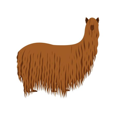 Funny suri alpaca, a long haired breed of alpaca isolated on white background. Cartoon llama animal in hand drawn style. Great for icon, card, poster, logo design. Çizim