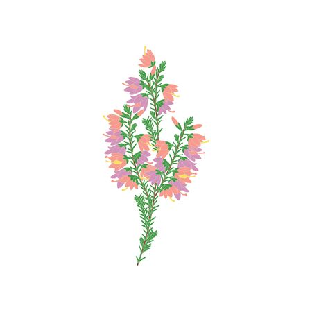 Purple and pink heather flowers or Calluna isolated on white background. Romantic flower in hand drawn style for icon, logo, card, symbol, invitation, wedding design.