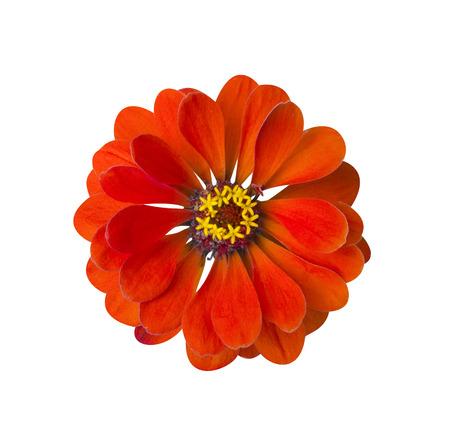 Zinnia Red isolated. Beautiful flower on white background Stock Photo