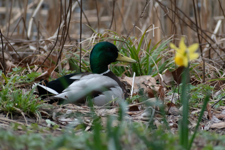 Male mallard duck: Anas platyrhynchos. Water fowl laying in dead leaves and pond grass. Stock fotó