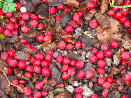 red hawthorn berries fell to the ground in autumn