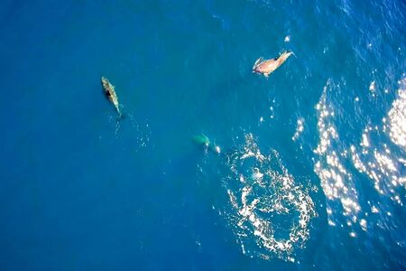 Top view of bottlenose dolphins in sea water. wild dolphins in the black sea.