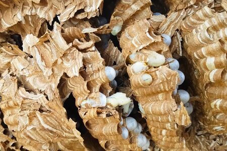The ravaged nest of hornets, honeycombs and larvae of hornets wasps. Stok Fotoğraf