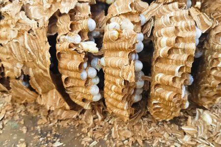 The ravaged nest of hornets, honeycombs and larvae of hornets wasps. Stock fotó