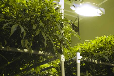 Cannabis leaves and stems are grown hydroponically in the garden. Beds of hemp, marijuana in a legal garden.
