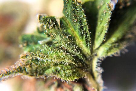 Macro photo of hemp inflorescence tips, thc crystals on cannabis shoots. Marijuana macro photo. 写真素材