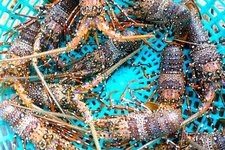 Live spiny lobsters in a basket. catching lobsters on a farm. Stockfoto
