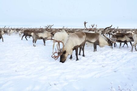 Reindeer in the sima tundra in the snow. Stock fotó