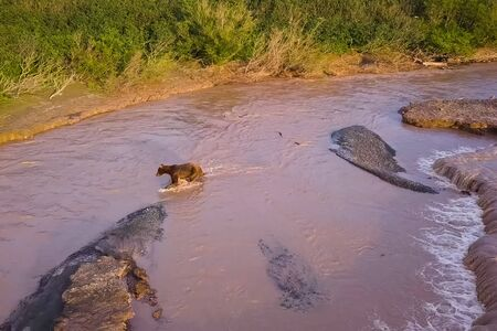 Grizzly brown bear catches salmon in the river. Bear hunts spawning fish