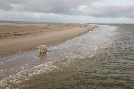 Polar bear on the seashore in the tundra.