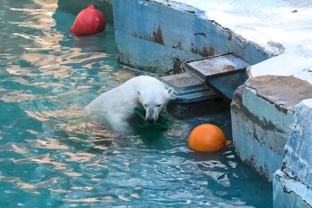 Polar bear at the zoo. The life of a polar bear in captivity.