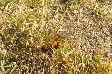 The wasp attacked Gryllotalpa gryllotalpa. Wasp predator Stock fotó